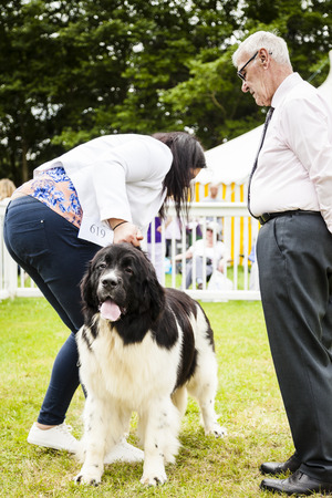 Staffordshire, England - June 01,2017 : Cute Newfoundland dog being judged at Staffordshire County Show