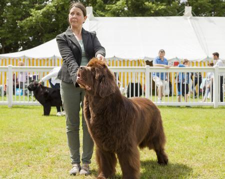 newfoundland: Staffordshire, England - June 01,2017 : Cute Newfoundland dog being judged at Staffordshire County Show