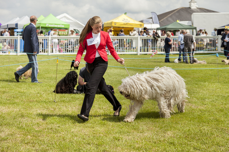 Staffordshire, England - June 01,2017 : Schapendoes  Sheepdog  being judged at Staffordshire County Show
