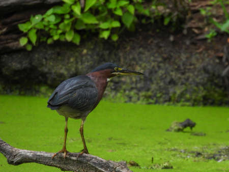 Green Heron Bird Stands on Dead Tree Branch Hovering Over Algae Pond Hunting for Fish with Green Foliage Along Pond Shore in Background