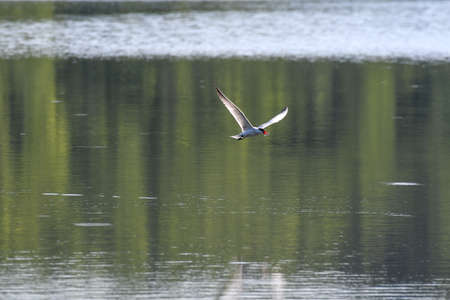 Caspian Tern Bird Flying Above Lake Water with Reflection in Water and Fish in Mouth with Wings at V-shape Wing Span