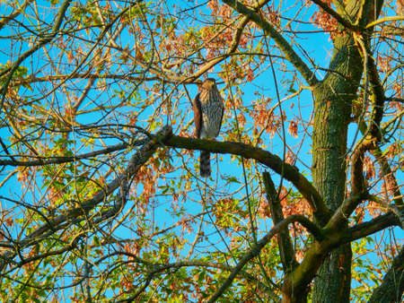 Copper's Hawk Sits and Hunts on Tree Branch with Blood on Talons and Autumn Leaves Blurred in Background with Bright Blue Morning Sky