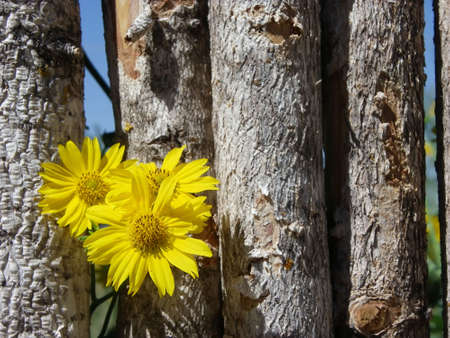 encroach: Photo of yellow wildflowers growing through wood fence Stock Photo