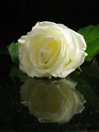 White rose on black background with reflection