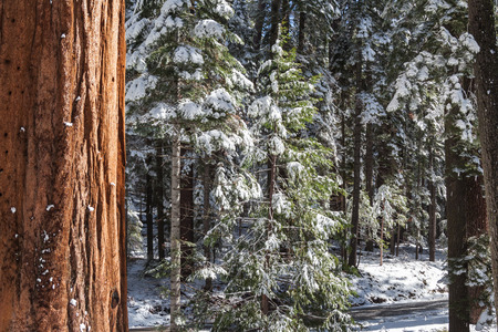 Giants Sequoia Grove in the Mariposa area of Yosemite  Snowy trees, view and beautiful view photo