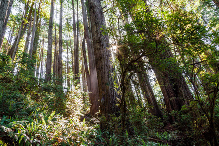 klamath: the sun shining thru a grove of giants redwood trees in the northern California Redwood National and State Parks. Stock Photo