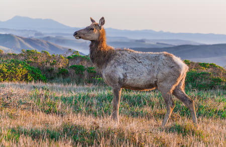 elk point: an elk at the point reyes national park in the tamales point area in northern california, wildlife Stock Photo