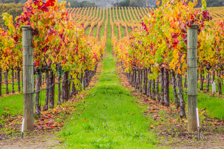 vineyard view on a rainy and golden sunrise on the California Winery region of Napa and Sonoma