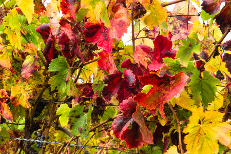 Red leaves of a vine, vineyard view on a rainy and golden sunrise on the California Winery region of Napa and Sonoma