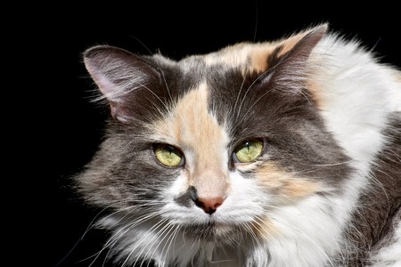 calico: Calico cat portrait