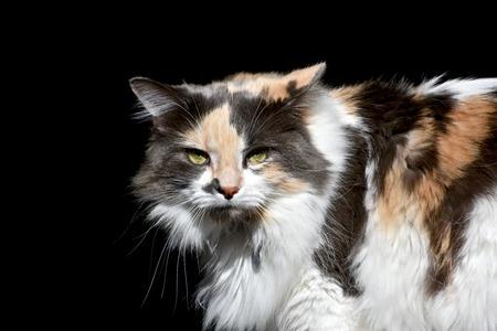 calico cat: Exotic calico cat