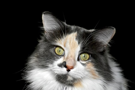 calico: Calico cat Stock Photo