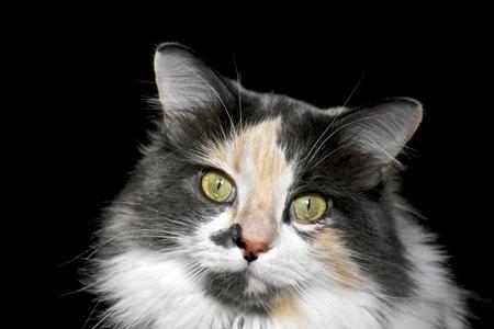 calico: Calico cat Stock Photo