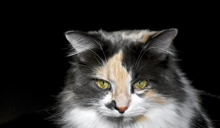 calico: Beautiful calico cat Stock Photo