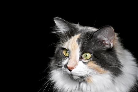 calico cat: Gorgeous calico cat