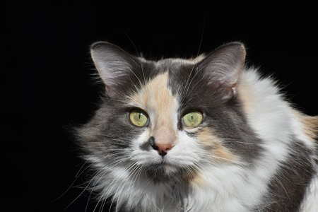 calico: Gorgeous calico cat