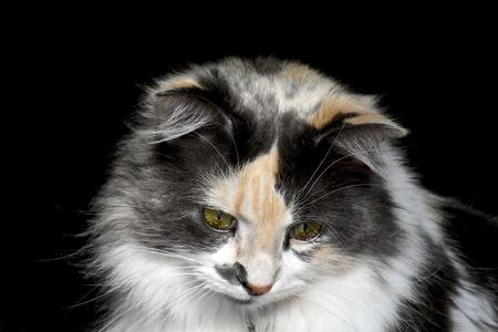 calico cat: Pretty calico cat Stock Photo
