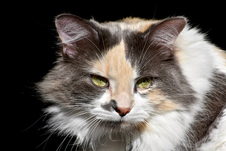 calico: Exotic calico cat