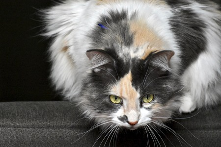 calico cat: Calico cat ready to hunt