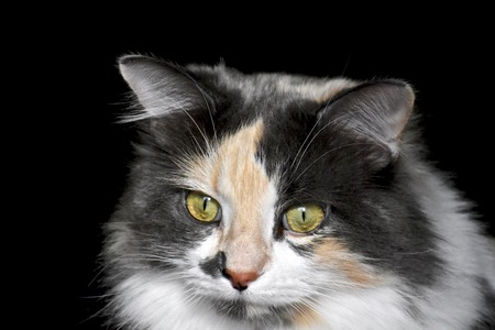 calico: Calico cat face
