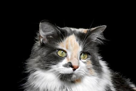 calico: Gorgeous calico cat