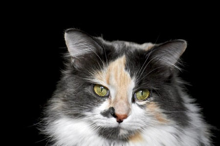 calico: Pretty calico cat Stock Photo