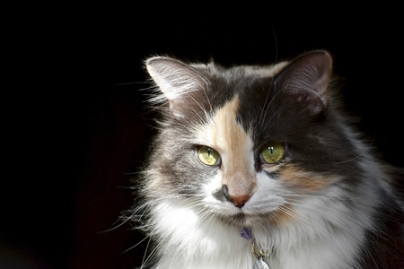 calico: Calico cat posing for portrait