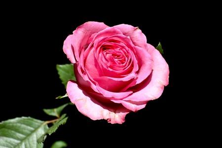 rosas rosadas: Hermosa rosa