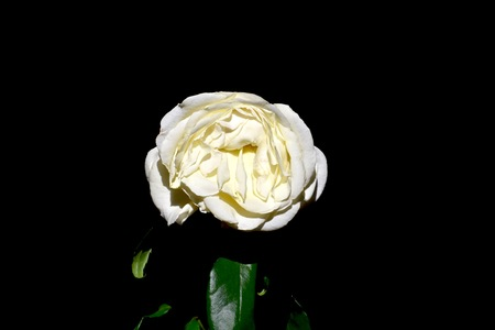 wilted: Wilted white rose on black background