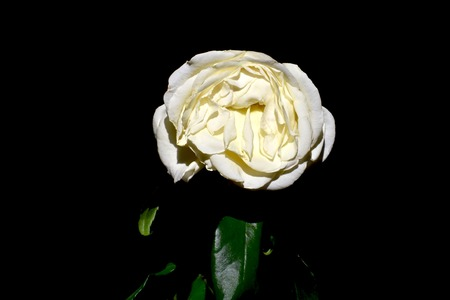 wilted: Wilted white rose