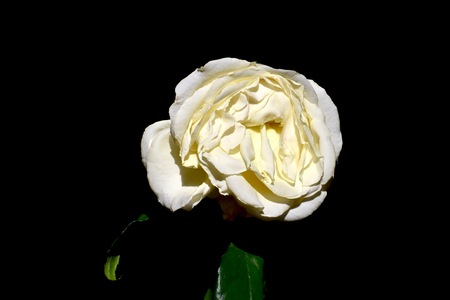 wilted: Wilted rose Stock Photo
