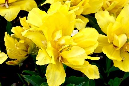 Gorgeous tulip Stock fotó