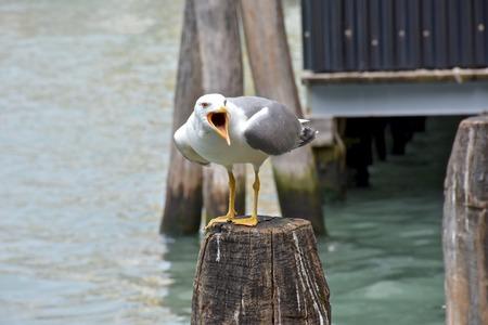 animal screaming: Seagull screaming