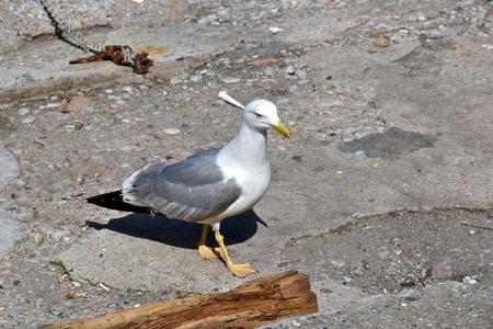 bird feet: Beautiful seagull looking for food