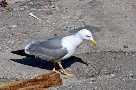 Beautiful seagull looking for food