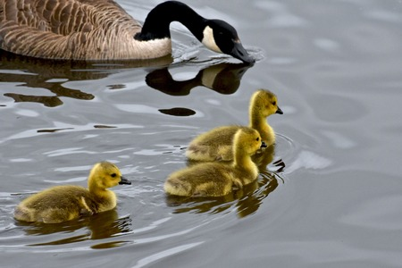 Three baby geese swimming next to mom