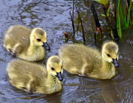 Cute baby geese Stock Photo