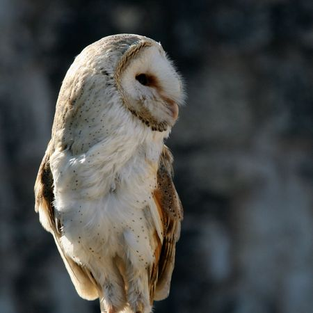 Barn owl in post Stock Photo