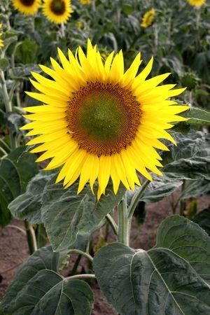 Field of sunflower Stock Photo - 7437514