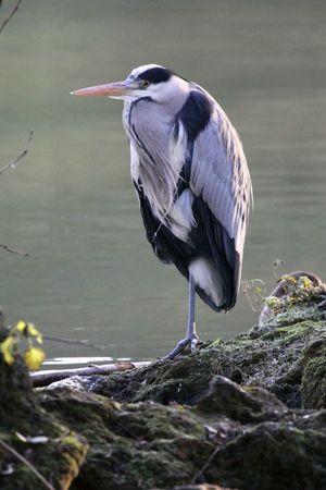 Grey heron during winter