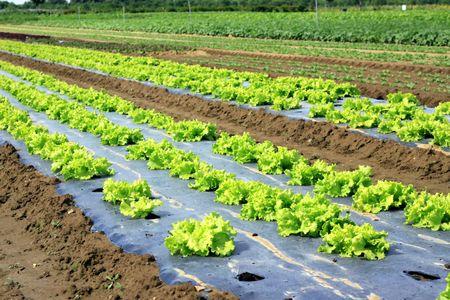 Field of salads Stock Photo