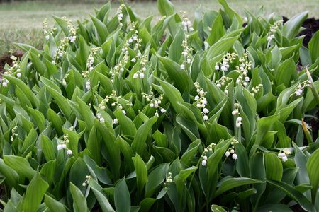 Lily of the valley in a garden in May Stock Photo