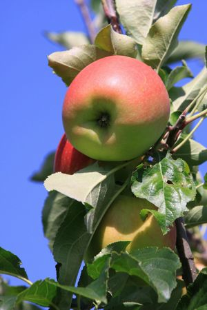 Season of apples with fruits on the tree Stock Photo
