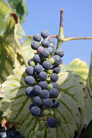 Cluster of wine with maturity Stock Photo
