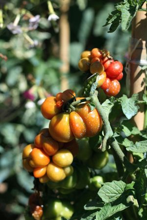 Rustic tomatoes in a farm