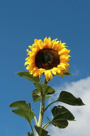 Flower of sunflower photo