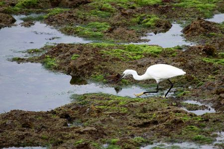 Egret garzette in Vendee