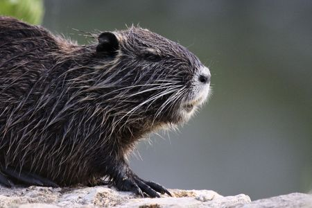 Close-up of coypu