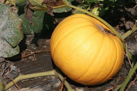 Yellow pumpkin Imagens