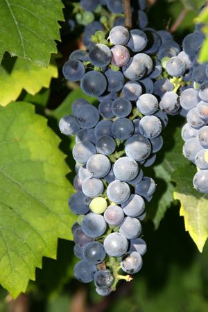 tastevin: Grape in a vineyard